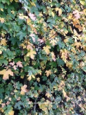 Autumn Field Maple Hedgerow. Acer campestre. www.buckinghamvintage.co.uk